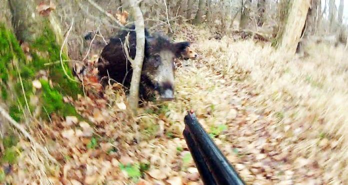 Mε Νόμο Επιτρέπεται Το Κυνήγι Του Αγριόχοιρου Όλο Το Χρόνο